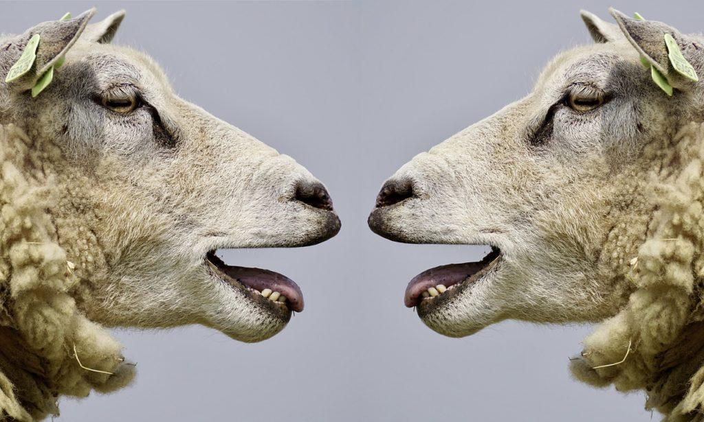 Imagen de dos ovejas enfrentadas. La era de las fake news provoca debates estériles de lo más boreguiles.
